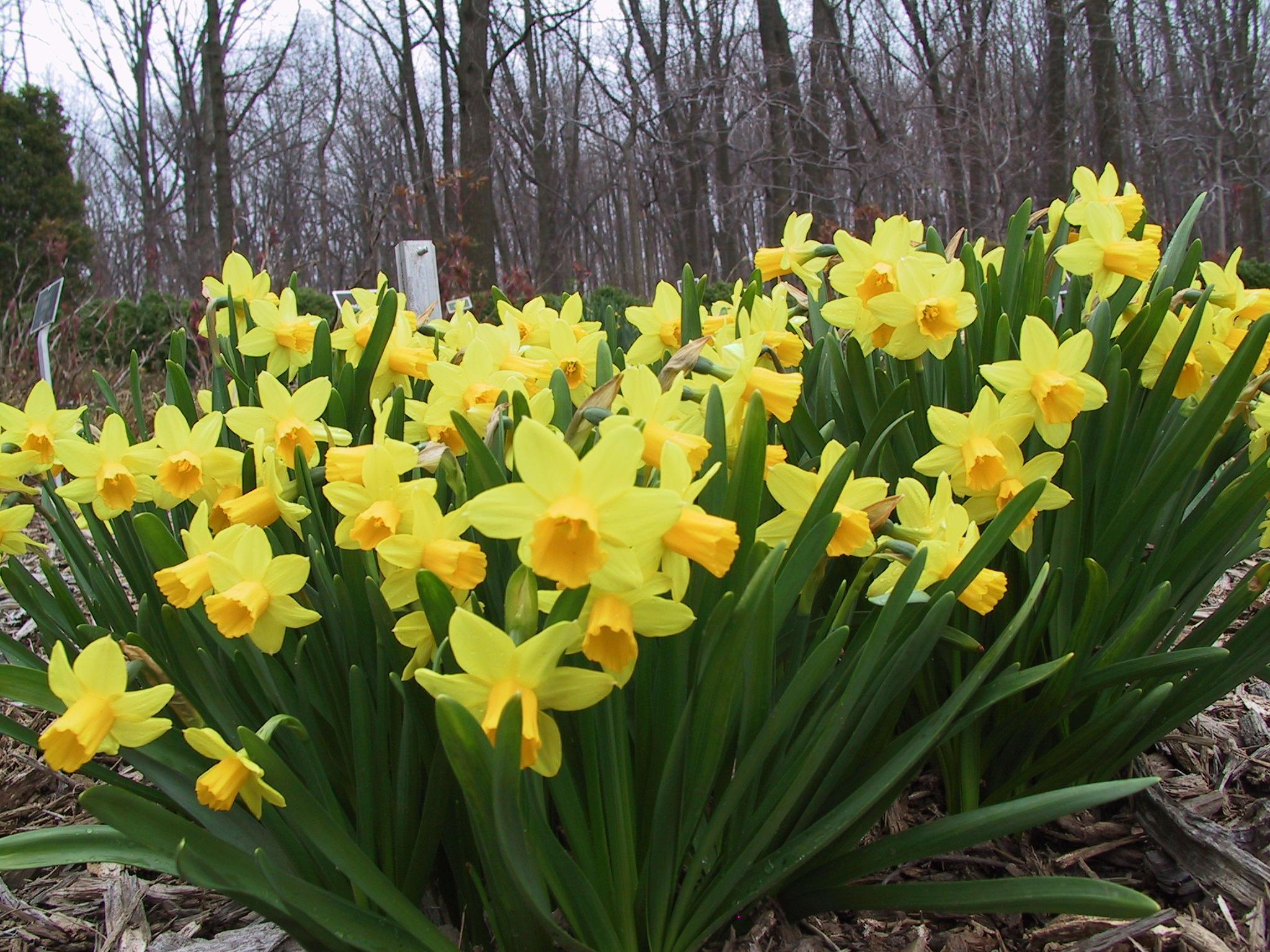 Associated with Venus and water, daffodils promote love, fertility, and luck.